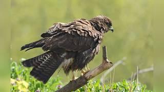 Мир животных. Хищные птицы. Канюк