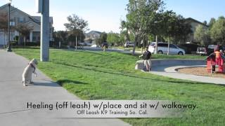 Amazing Tranformation, 4yr Old Lab Nala: Murrieta California Dog Trainers.
