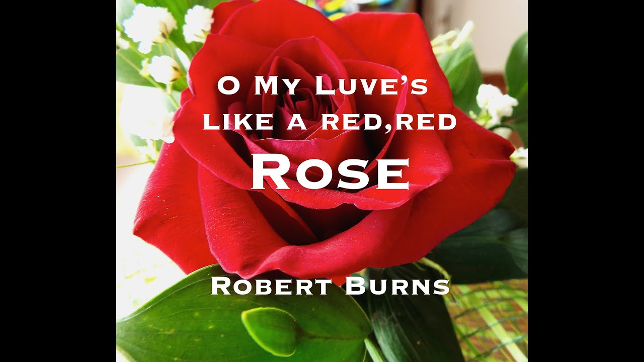 a red red rose by robert Robert burns, a poor man, an educated man, and a ladies' man, is representative of scotland, much like whisky, haggis, bagpipes, and kilts he lived a life shortened by rheumatic heart disease, 1759-1796, but his life journey through poverty, informal education, disappointed love, nationalism, and literary and financial success can be.