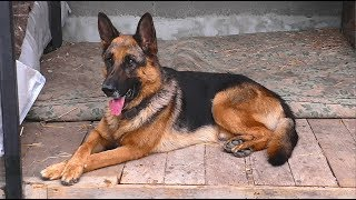 Вольер для Тора. Кобель немецкой овчарки 4 года. Aviary for Thor. Male German Shepherd 4 years.
