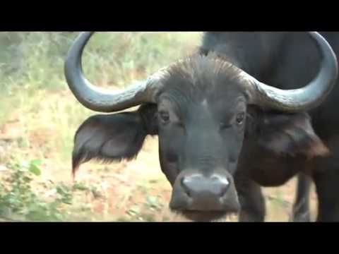 Hunting Cape Buffalo in South Africa - Modern Shooter TV