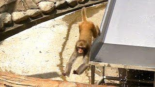 飛び回るアカゲザルRhesus macaque jump about