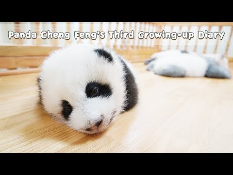 Panda Cheng Feng's Third Growing-up Diary | iPanda