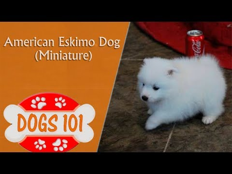 Dogs 101 - MINI AMERICAN ESKIMO - Top Dog Facts About The MINIATURE AMERICAN ESKIMO