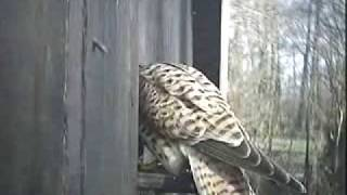 Kesttrels Challenge Nesting Stock Dove