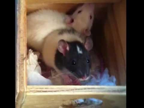 Petco Rats Petco Feeder Rats Get ...