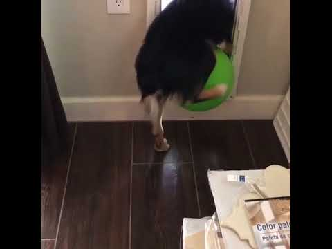 Dog Fails To Fit Large Ball Through Doggy Door 984797 Youtube