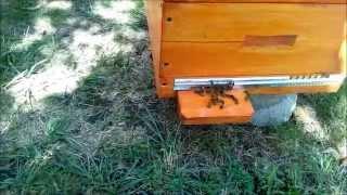 Пчеловодство Слет пчел 29 августа Beekeeping Bee gathering on August 29(, 2014-08-31T16:14:16.000Z)