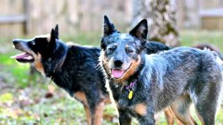 Raina - Texas Cattle Dog Rescue