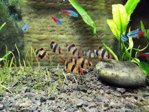 Tiger Barbs And Neons Tetra Feeding Time