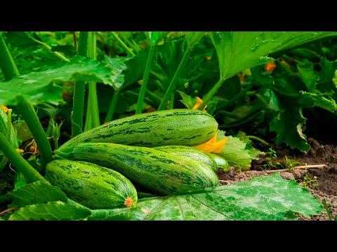 Вопрос: Можно со свежего кабачка семена сразу сажать в землю?