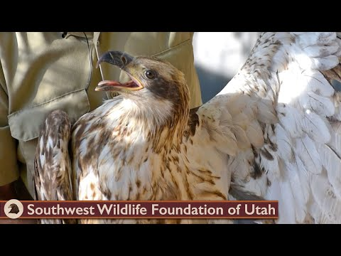 Rescued Rare White Belly Bald Eagle