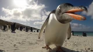 Beschauliches treiben am strand von new island auf den falklandinseln im märz 2015musik: https://www.terrasound.de/gemafreie-musik-kostenlos-downloaden/