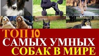 Самая умная порода собак в мире! ТОП 10 самых умных собак мира.