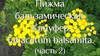 Пижма бальзамическая. Кануфер. Tanacetum balsamita. (часть 2)