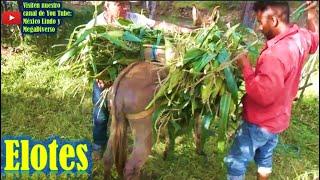Gambar cover Cortando Elotes en la joya de los Mangos en la Mixteca Oaxaca 🌽