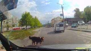 Умная собака дворняга на пешеходном переходе.