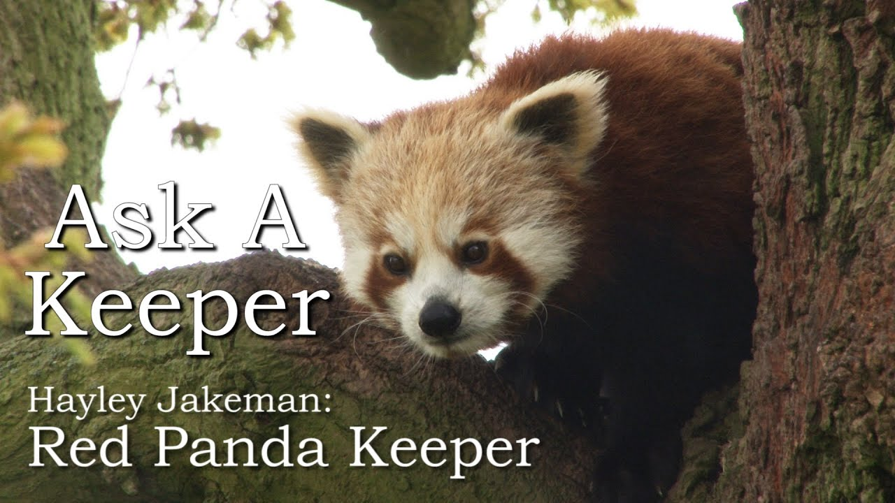 Ask A Keeper - Red Pandas | Zoological Society of London (ZSL)
