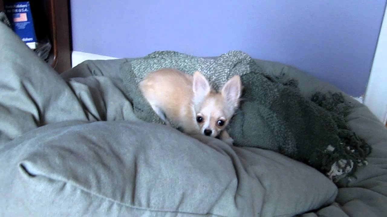 Funny Hyper Chihuahua Puppy Youtube