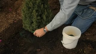 How to Fertilize a Dwarf Alberta Spruce : Professional Gardening Tips