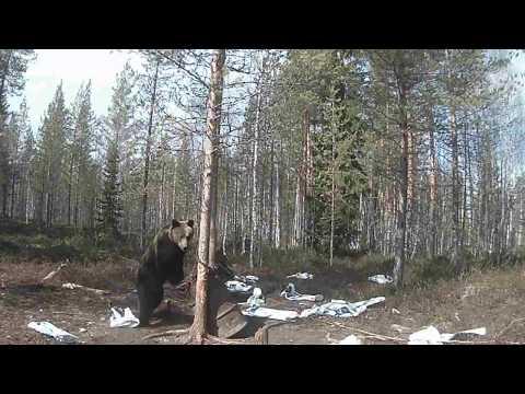 МЕДВЕДЬ НА ПРИВАДЕ / ВИДЕО С ФОТОЛОВУШКИ / BEAR OVER BAIT / VIDEO CAMERA TRAPS