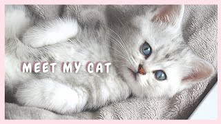 Getting a Kitten | First days of a Scottish straight cat at her new home~