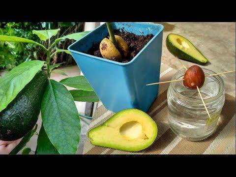 Как из косточки авокадо вырастить дерево в домашних условиях
