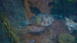 Puffer Fish at Burj Al Arab Hotel Aquarium 24.11.2016