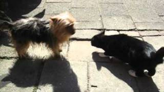 Puck The Yorkshire Terrier's Cat Encounter