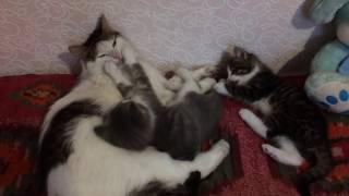 Самое смешное видео. Смешное видео про котов. Семейство кошачих