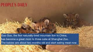 The first naturally-bred mountain lion in China, has become a great mom to three cubs