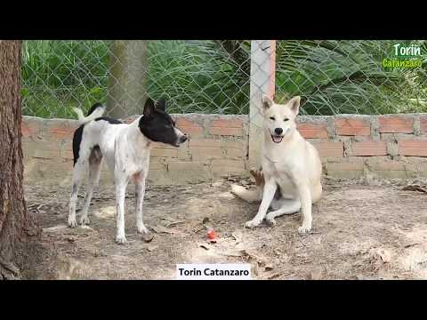 Simple Life Of Village Pet Dogs in Summer Group Meeting Daily Animal Care