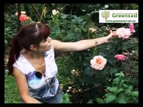 Чайно-гибридные розы самые любимые розоводами