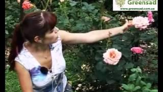 видео Чайно-гибридные розы : Саженцы розы сорт Papilon Папилон