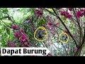 Jebak Burung Kolibri Menggukakan Pulut  Mp3 - Mp4 Download