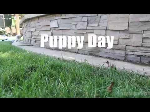 CUTEST PUPPIES! (Cute Cavalier King Charles Spaniel Puppies) - 6 Weeks Old!