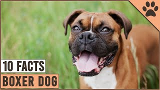 Boxer Dog Breed  Top 10 Facts | Dog World