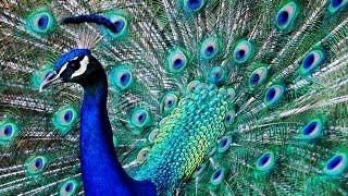 blauer pfau im zoo