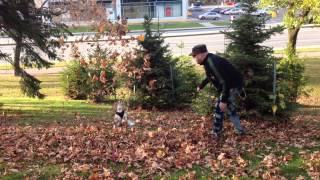 Dharma Le Cavalier King Charles Et Les Feuilles D'automne