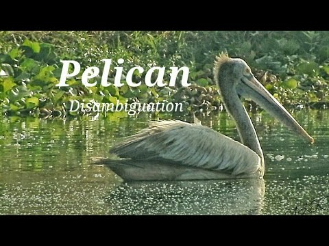 Pelican (Disambiguation)