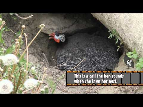 Guinea Fowl Hen Sounds & Nest Calls
