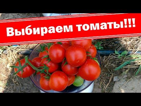 Мой выбор семян томатов 2020. Выбираем низкорослые и высокорослые помидоры