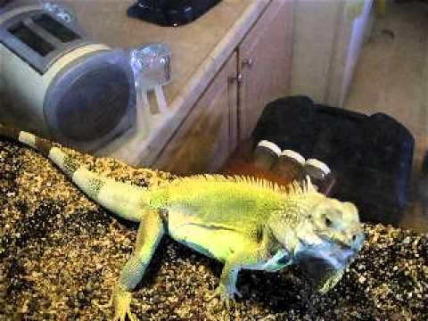 Hector My 3 Foot Iguana