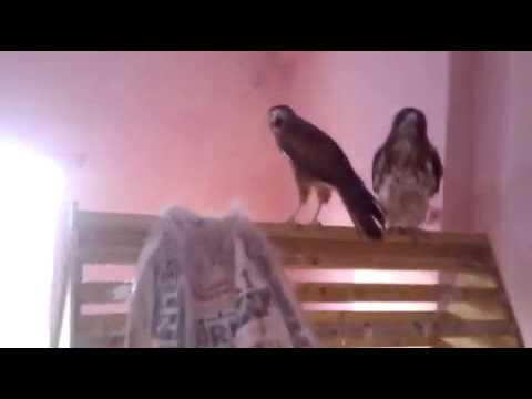 Baaz (Falcon) at Hazoor Sahib Gurudwara saying Waheguru!