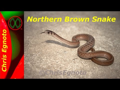 Northern Brown snake a very common herp.