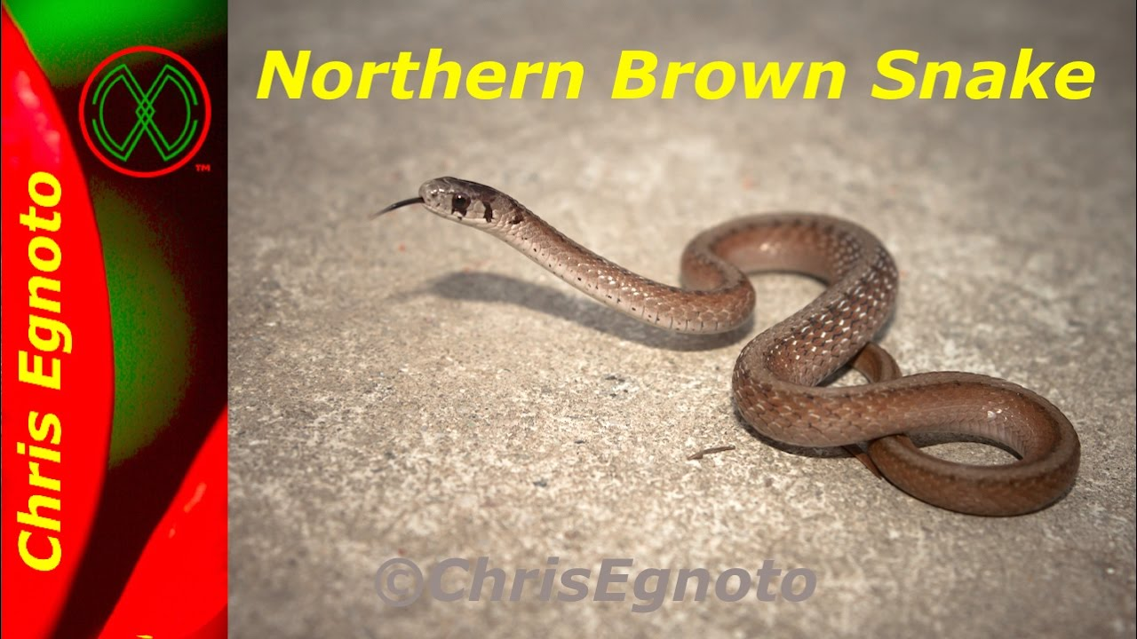 Northern Brown snake a very common herp