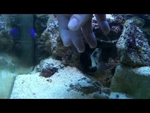 Picasso Triggerfish (humu humu)