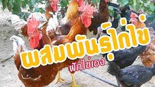 เลี้ยงไก่ไข่ เก็บไข่ฟักเอง 21วันได้ผลน่าพอใจ