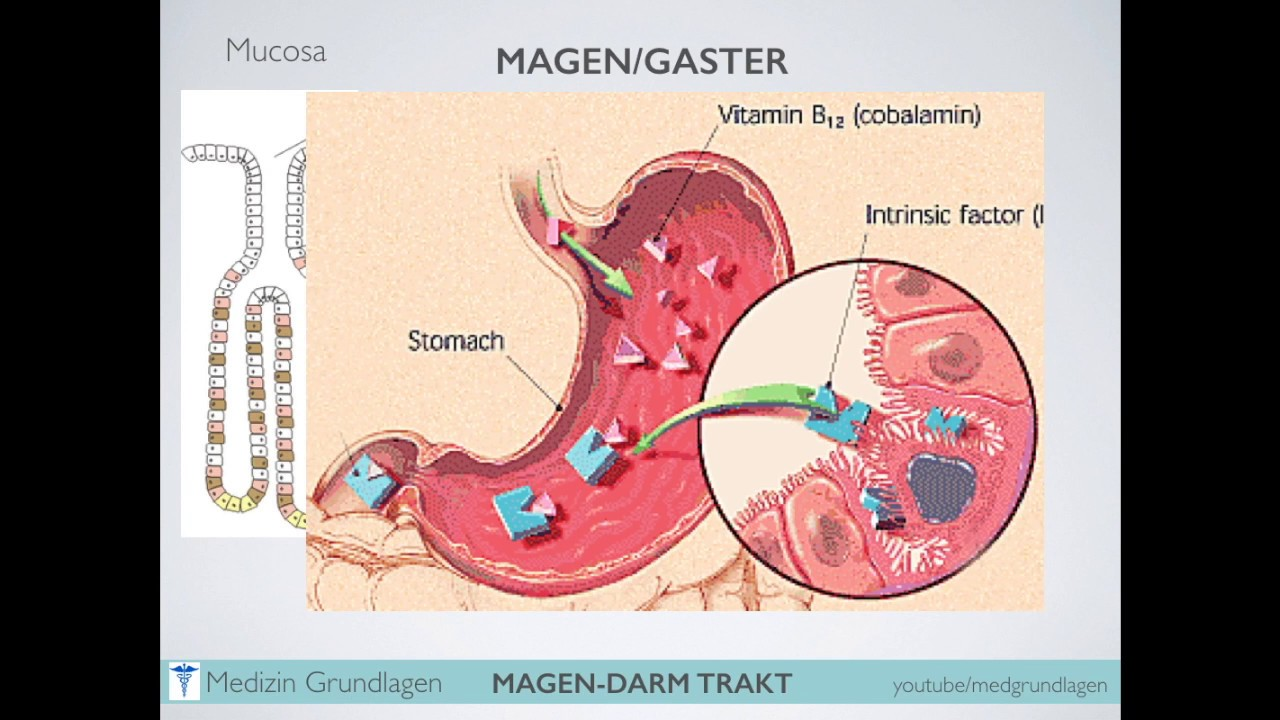 Magendarm Trakt Medizin Grundlagen Teil 1 - YouTube