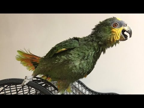 Gabby Blue Fronted Amazon Parrot talking